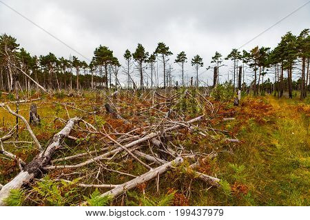 Fallen pine trunks after fire in the forest