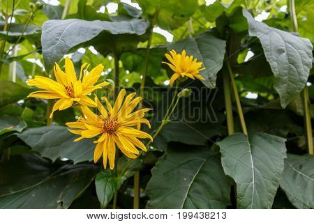 Cutleaf Coneflower Rudbeckia Lacinata Blooming In Garden, Sunny Day, Summer Time In Sweden