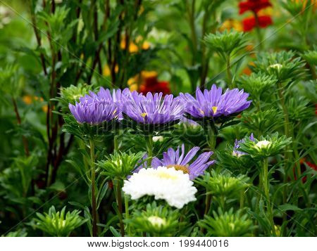 Asters flowers summer flora nature natural garden park plant