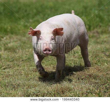 Piglet enjoying sunshine on green grass near the farm