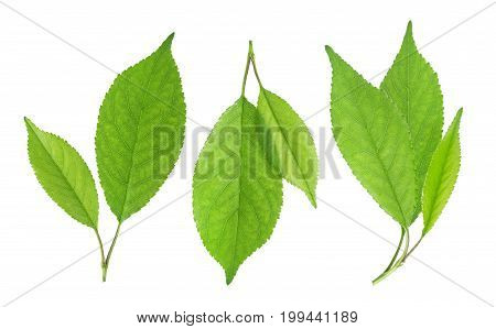 Cherry leaves isolated on white background, collection