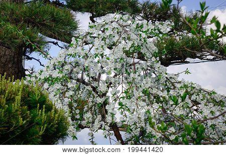 Apple Flowers At Garden In Akita, Japan