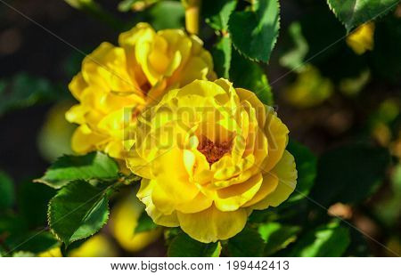 rose flower grade princess alice, golden-yellow rose with wavy petals, with bright green foliage, rose with rounded, terry  flowers, sunlight, summer, growing in the garden, two, in bloom