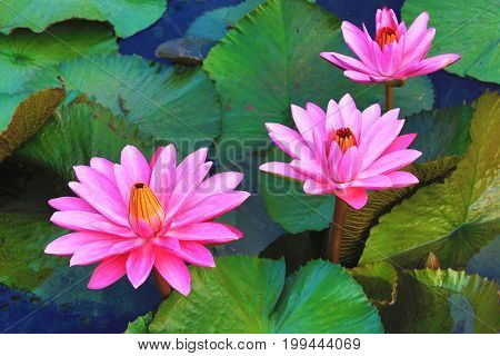 Beautiful pink waterlily flowers and leaves blooming in the pond in summer