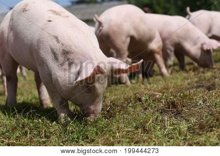 Group of small pigs eating fresh green grass on the meadow