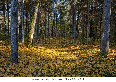 Path through the autumn forest with deciduous trees backlit by the rays of the sun.