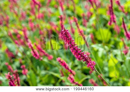 Closeup of a flaming red flower spike of a blossoming Mountain Fleece or Persicaria amplexicaulis atrosanguineum plant on a sunny day in the Dutch summer season.