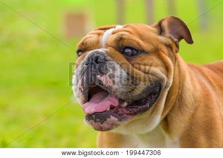 English bulldog with a malicious gaze, the mouth is open, a red tongue is stuck out. Against the background of a green blurred grass. Space under the text. 2018 year of the dog in the eastern calendar.