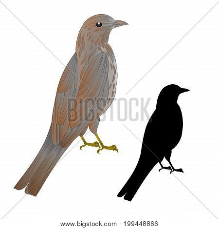 Thrush songbird wildlife bird vintage vector animal illustration editable hand draw