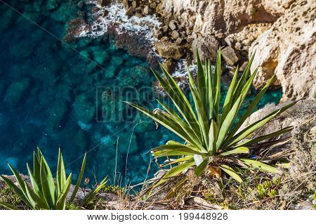Exotic plant on lmestone cliff, majestic nature landmark of Malta island