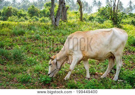 Cow Grazing On A Green Meadow In Sunny Day. Farm Animals.