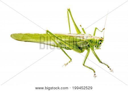 Locust isolated on white background. Green insect on white