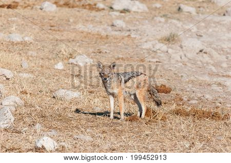 A black-backed jackal (Canis mesomelas) in elephant dung in Northern Namibia