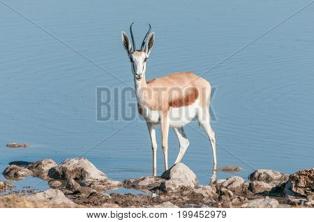 A springbok (Antidorcas marsupialis) in a waterhole in Northern Namibia