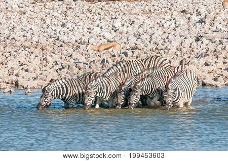 Burchells zebras Equus quagga burchellii drinking water at a waterhole in Northern Namibia