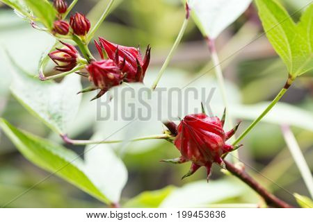 Roselle Fruits On Plant