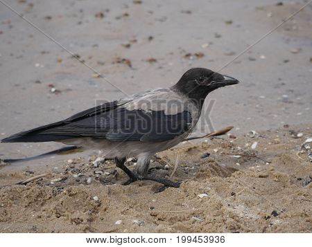 a crow on a background of sand and water