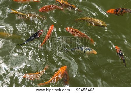 a group of beautiful koi carp fish are swimming in the natural clear pond.