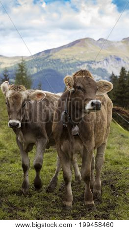 Cows On A Mountain Pasture