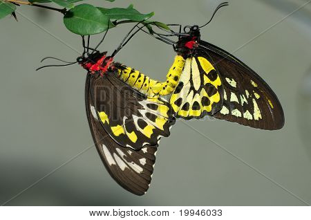 Cairns Birdwing Butterflies