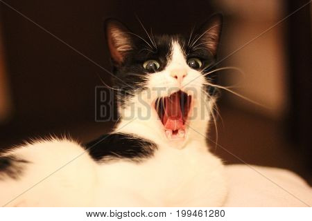 Yawning cat, cat screaming. Black and white