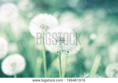 Dandelion flower blowballs floral field, soft blurred natural background, green and blue toned.