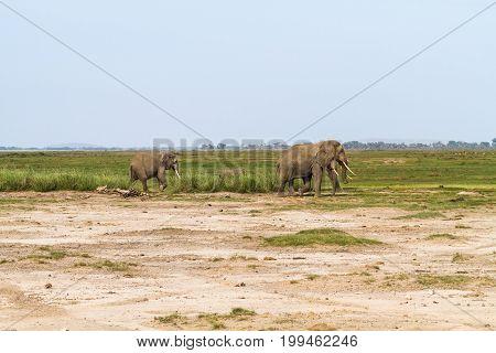 Dry savanna of Kenya. Lonely elephant. Africa