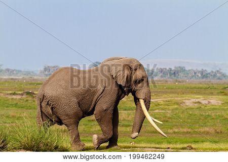 Big african elephant in dry savanna. Kenya, Africa