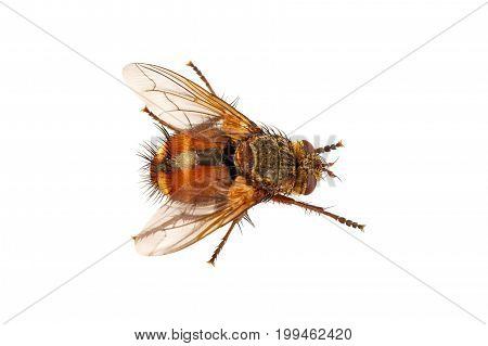 Brown fly isolated on a white background