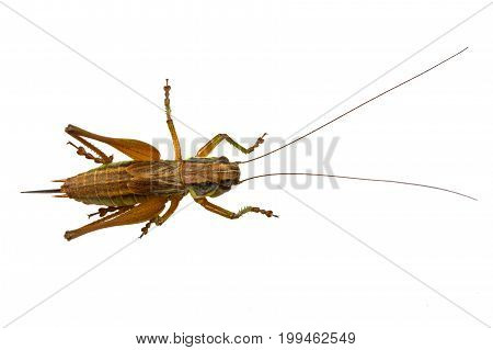 Brown grasshopper isolated on a white background