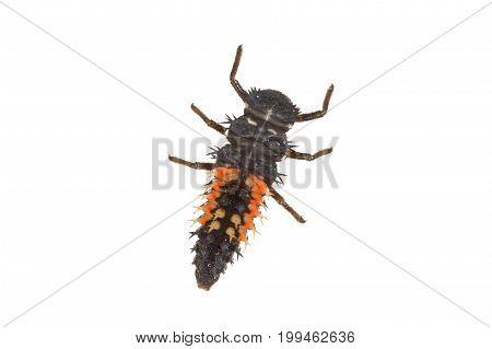 Ladybug Larva (coccinella) On A White Background