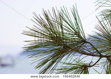Branch of a pine tree in front of the sea