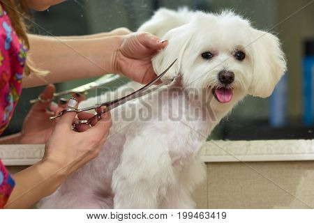 Hands with scissors, dog grooming. Adorable white maltese.