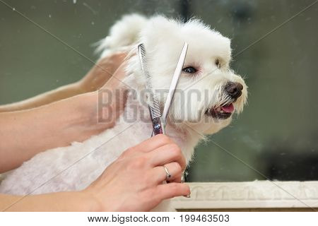 Hands of woman, dog grooming. Groomer with scissors cutting fur.