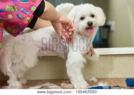 White maltese, hands of groomer. Dog grooming side view. Professional dog grooming services.