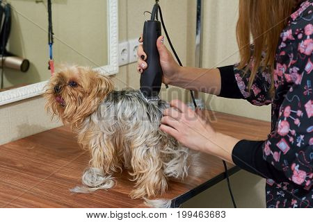Groomer working with york terrier. Cute little dog.