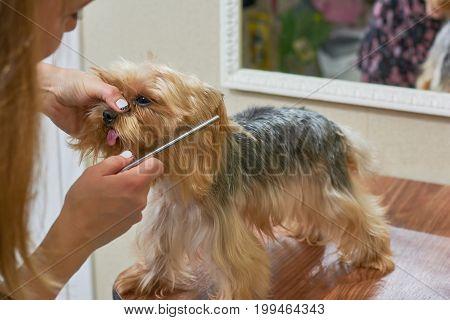 Hands combing york terrier. Groomer working, cute little dog.