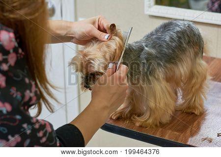 Hands combing yorkshire terrier. Work of groomer, little dog.