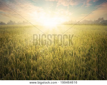 Image of a beautiful sunset on the rice field landscape