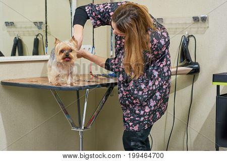 Female dog groomer is working. York terrier in grooming salon.