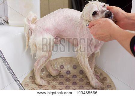 Female hands bathing dog. White maltese in bathtub.