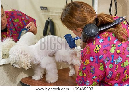 Dog groomer using slicker brush. White maltese, pet grooming salon.