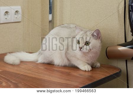 Cat with eyes wide open. British shorthair on the table. Cat behavior study.