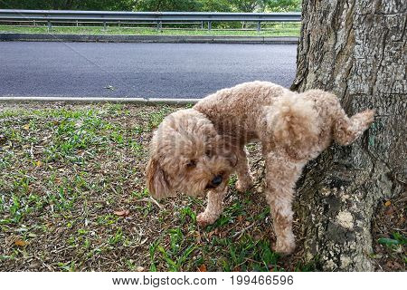 Male Poodle Dog Pee On Tree Trunk To Mark Territory