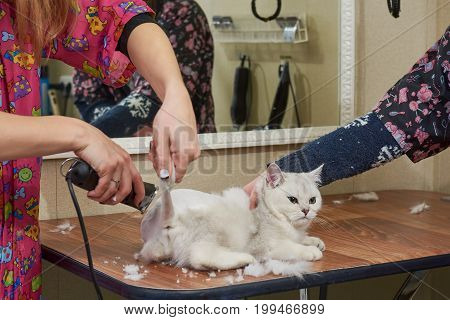 British shorthair white getting haircut. Cat groomer using a trimmer.