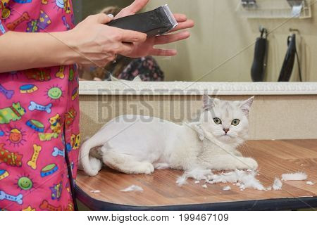 British shorthair white, grooming salon. Hands holding trimmer, cute cat.