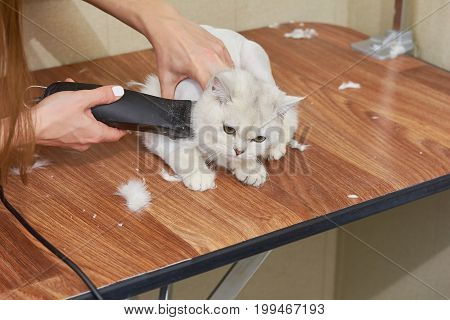 British shorthair white grooming. Cat getting haircut, hair clipper.