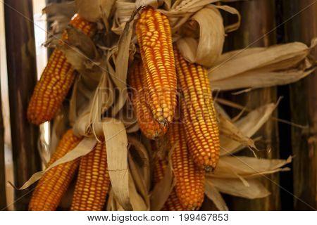 maize cobs corn in harvesting season. natural farm.