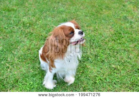 Charming dog - cavalier King Charles Spaniel - standing on a green lawn