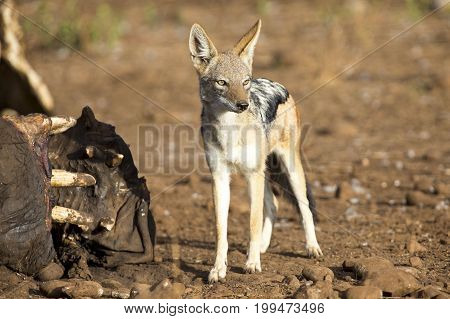 Hungry Black backed jackal looking for food at a hippo carcass